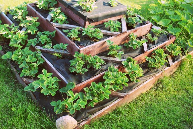 As morangos crescem acima na cama aumentada do jardim Jardim aumentado pirâmide fotografia de stock