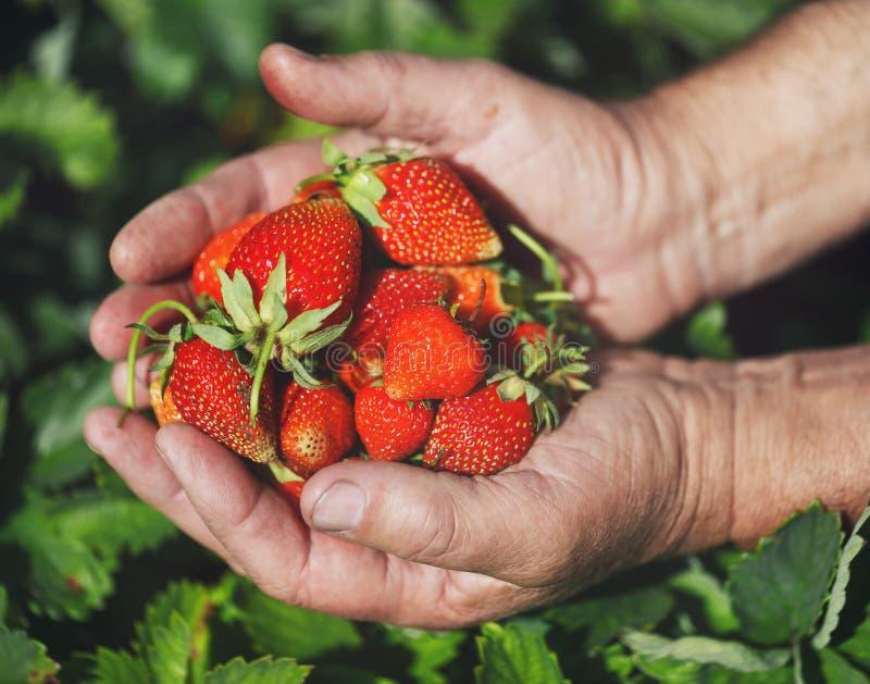 As morangos estão nas mãos do fazendeiro Bagas recentemente escolhidas imagem de stock