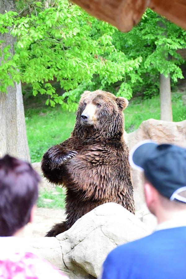 As mostras do urso como alto é foto de stock