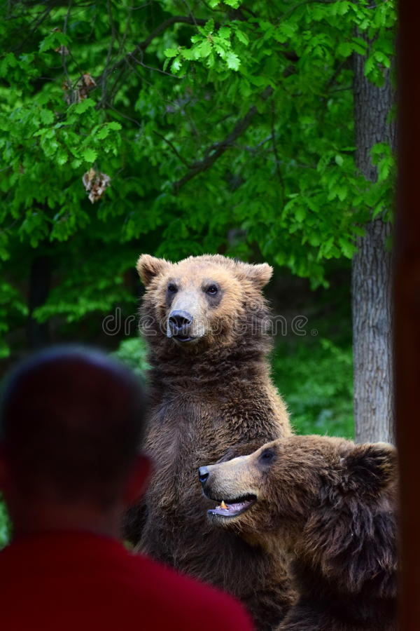 As mostras do urso como alto é imagens de stock royalty free