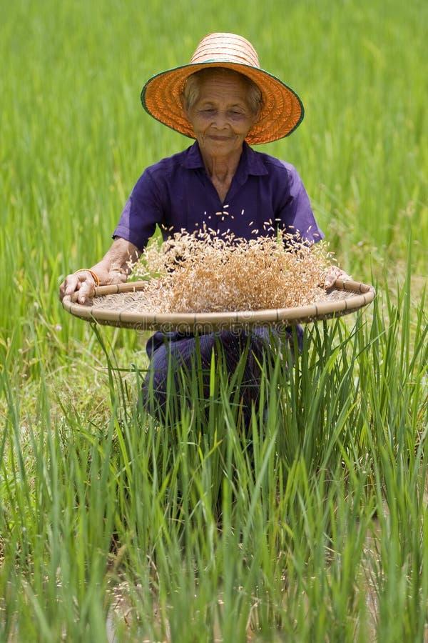 As mulheres asiáticas idosas sifts o arroz no arroz-campo imagens de stock royalty free