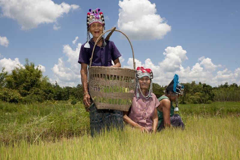 As mulheres asiáticas no arroz colocam, Akha imagens de stock
