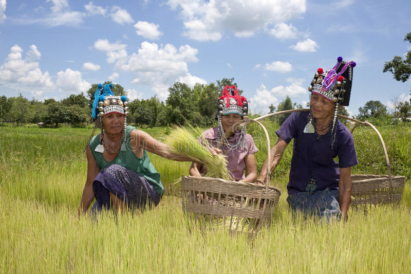 As mulheres asiáticas no arroz colocam, Akha imagens de stock royalty free