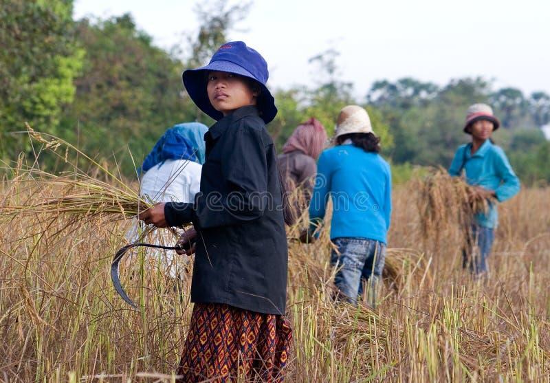 As mulheres cambojanas novas colhem o arroz à mão imagens de stock