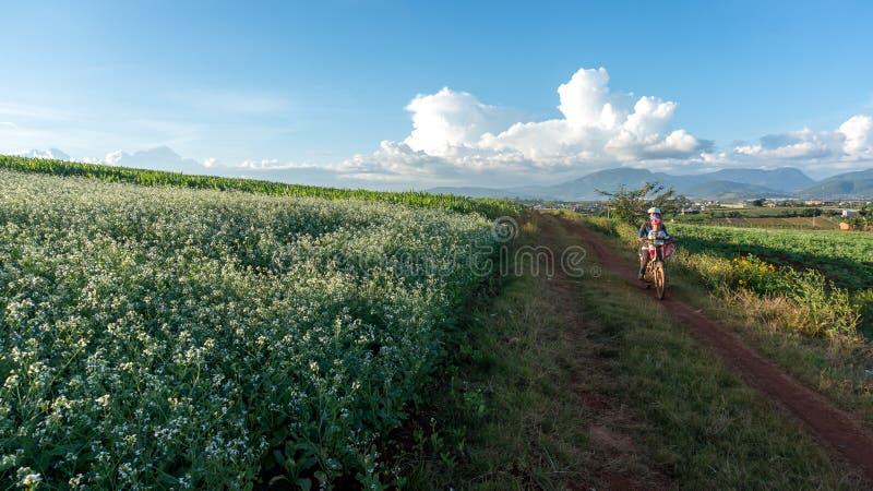 as mulheres vão na maneira dentro do campo da mostarda com a flor branca em DonDuong - Dalat- Vietname foto de stock royalty free