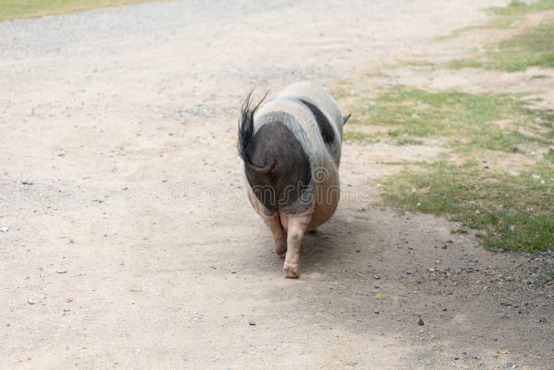 As nádegas do porco grande fotografia de stock