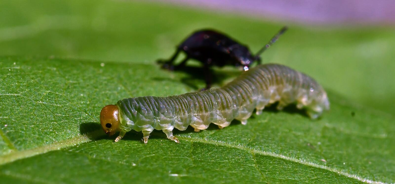 As ninfas cravadas do bidens de Picromerus do shieldbug no fundo, tomam uma larva imagens de stock