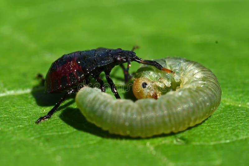 As ninfas cravadas do bidens de Picromerus do shieldbug, tomam uma larva imagens de stock royalty free