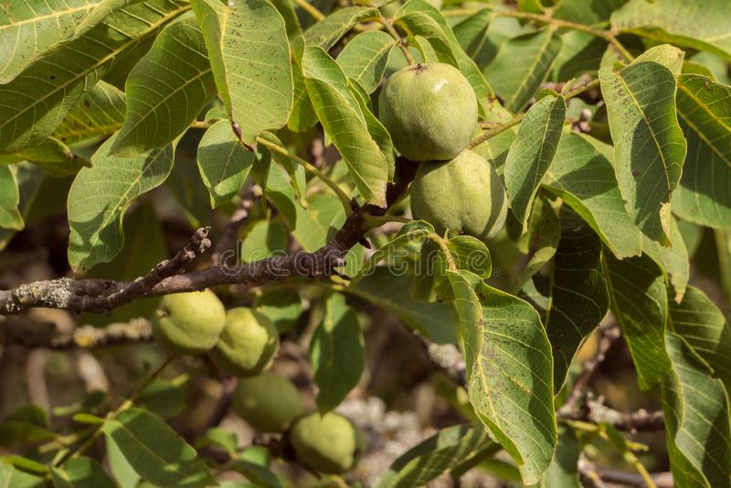 As nozes gregas penduram e amadurecem em ramos da árvore fotografia de stock royalty free