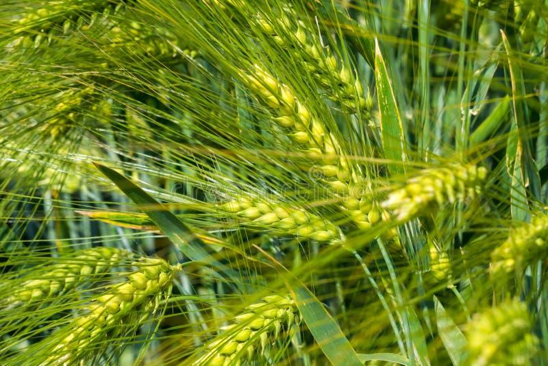 As orelhas amarelando da cevada enchidas com grão amadurecem no campo em um dia ensolarado imagem de stock royalty free