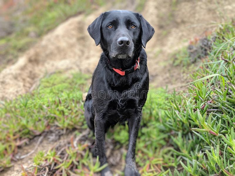 As orelhas bonitos enviam Labrador preto no monte da praia que olha a câmera com as plantas do litoral no fundo fotos de stock