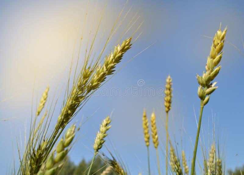 As orelhas da aveia e do trigo amadurecem no campo contra o céu azul e a luz solar O conceito de crescer bio produtos orgânicos imagens de stock royalty free