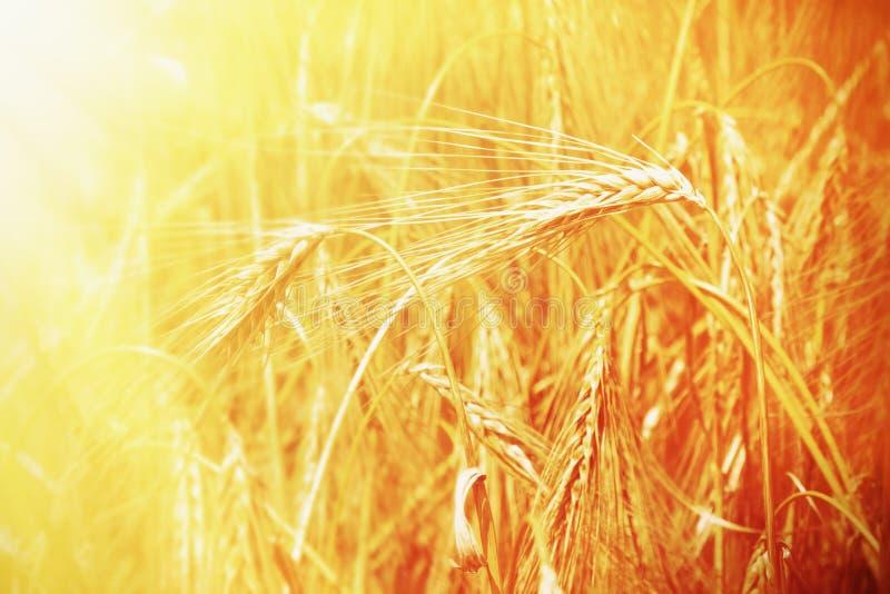 As orelhas da cevada do ouro colocam o fundo agricultura, agronomia, indus imagens de stock