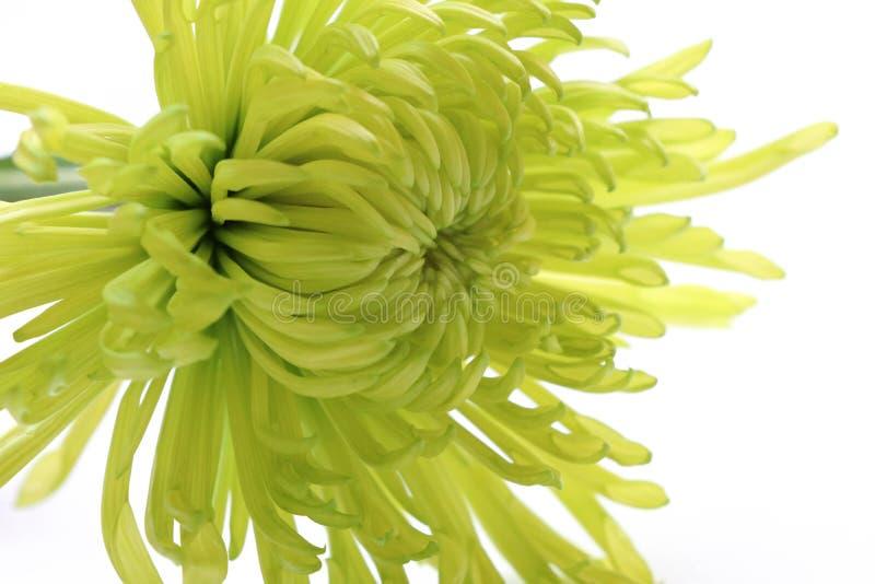 As pétalas bonitas dos crisântemos verdes fechadas acima da imagem na natureza isolaram o backgground fotos de stock