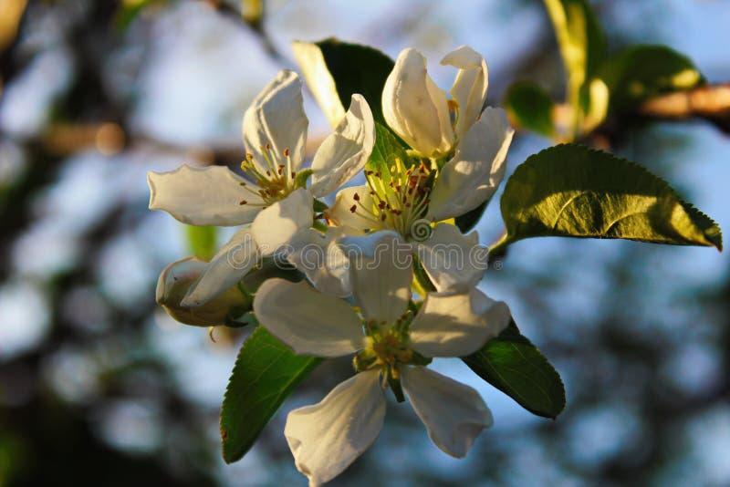 As pétalas da cor das flores plantam a árvore de Apple da mola da natureza imagem de stock royalty free
