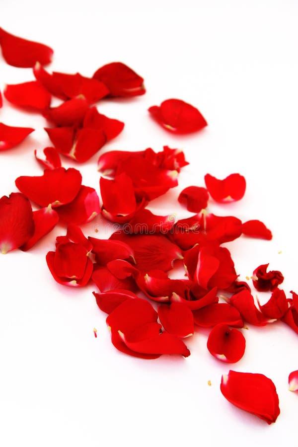 As pétalas de um vermelho levantaram-se imagem de stock