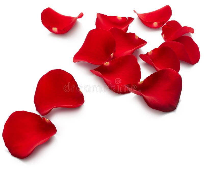 As pétalas do vermelho levantaram-se fotos de stock