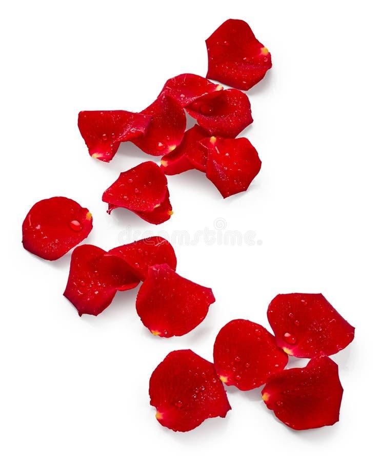 As pétalas do vermelho levantaram-se fotos de stock royalty free