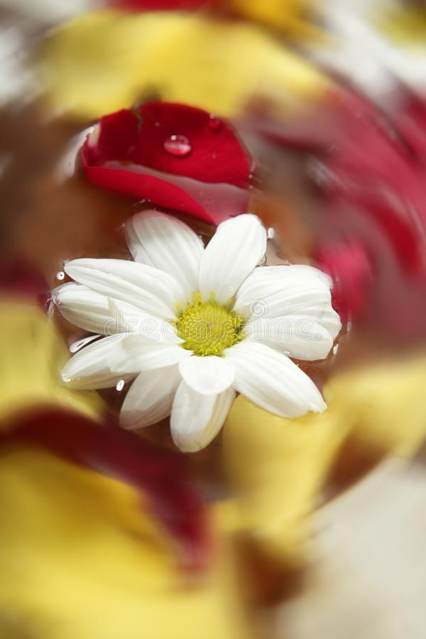 As pétalas e a margarida de Rosa florescem em termas da água imagem de stock
