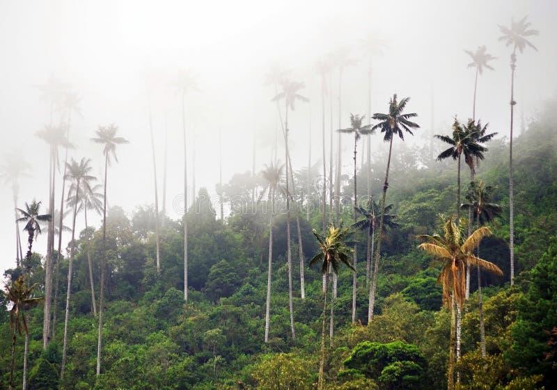 As palmeiras da cera do vale de Cocora são a árvore nacional, o símbolo de Colômbia e a palma a maior de World's fotografia de stock
