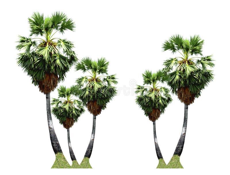 As palmeiras do açúcar que crescem acima na borda da estrada na paisagem do campo de Tailândia isolaram-se no fundo branco fotografia de stock royalty free