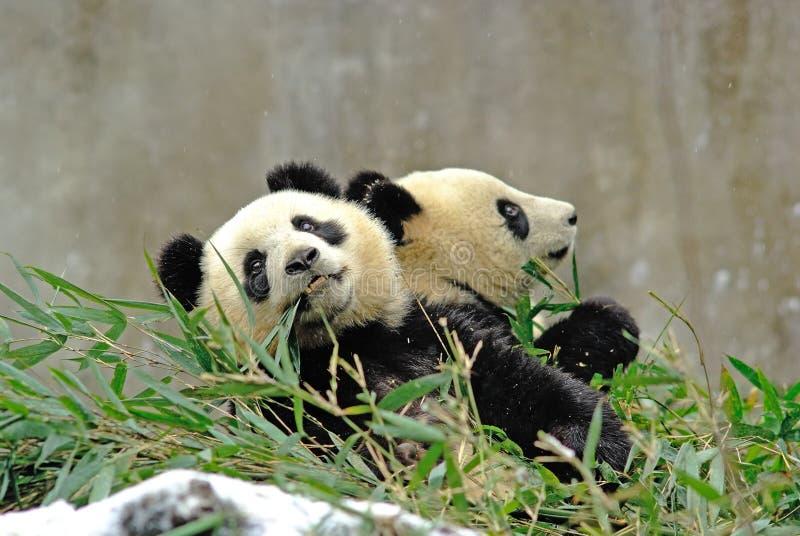 As pandas do bebê estão comendo o bambu no bifengxia fotografia de stock royalty free