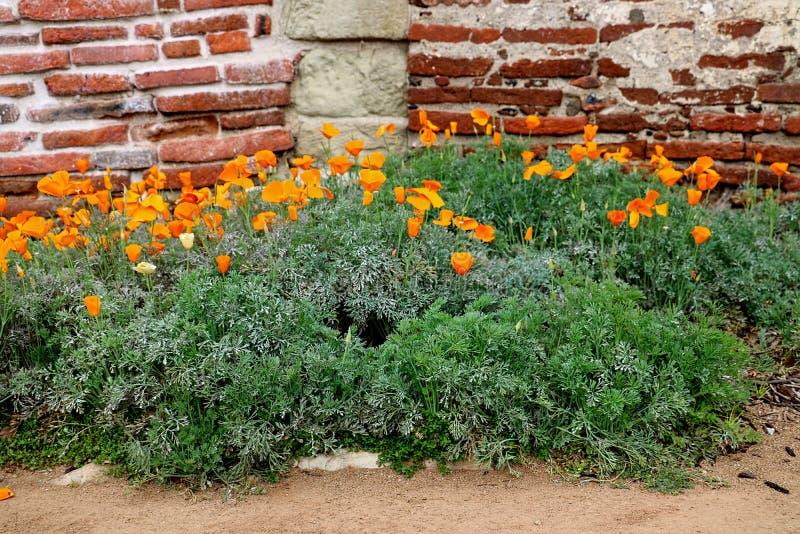 As papoilas douradas crescem em um jardim perto de uma parede de tijolo fotografia de stock
