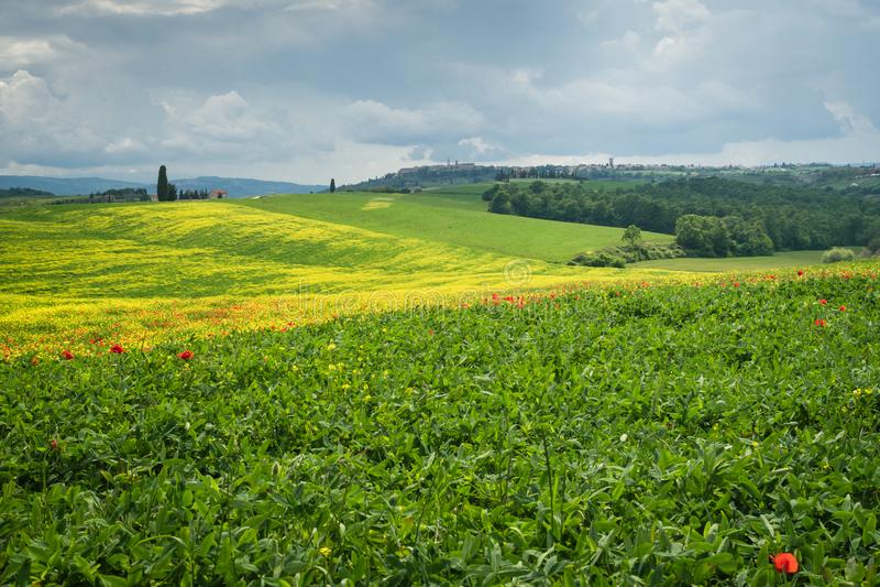 As papoilas são um campo em Toscânia, Itália fotografia de stock royalty free