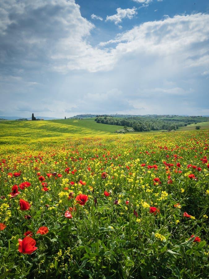 As papoilas são um campo em Toscânia, Itália imagens de stock