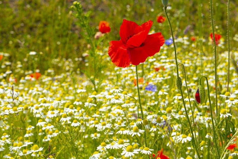 As papoilas vermelhas floresceram em um prado verde contra um céu azul imagem de stock