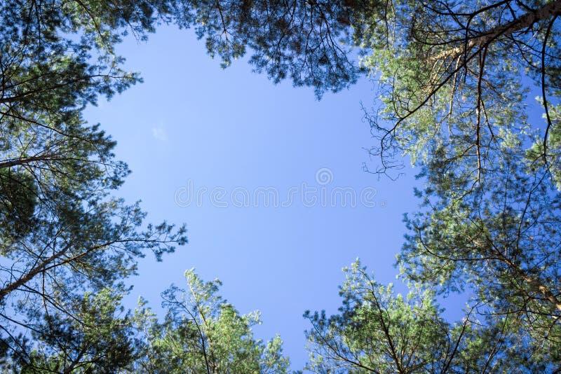 As partes superiores das árvores de Contiferous olham - acima ao céu azul fotografia de stock royalty free