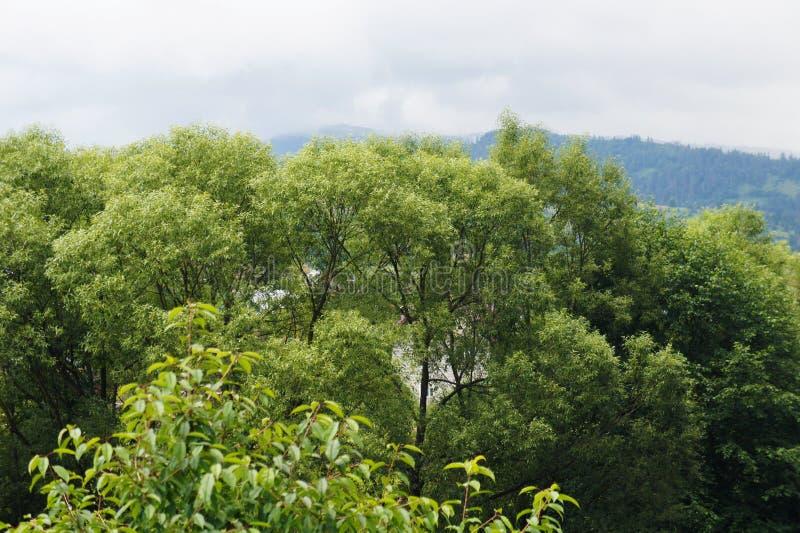 As partes superiores das árvores e do céu, as montanhas são azuis paisagem da floresta na distância Ucrânia, Carpathians imagem de stock