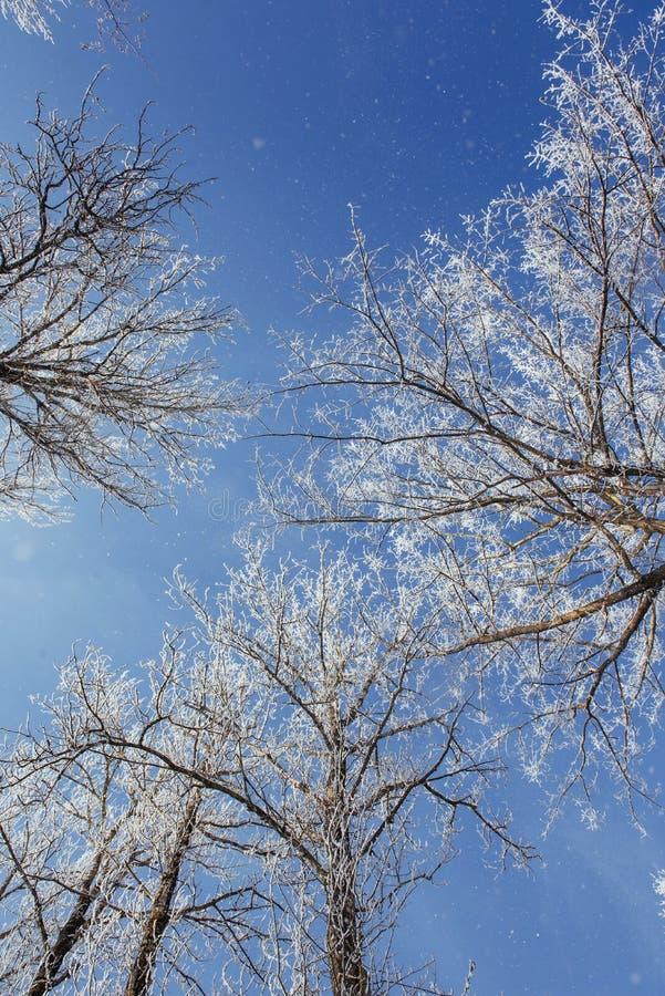 As partes superiores das árvores na neve Neve congelada em árvores Árvores congeladas em um fundo do céu nebuloso azul fotos de stock royalty free