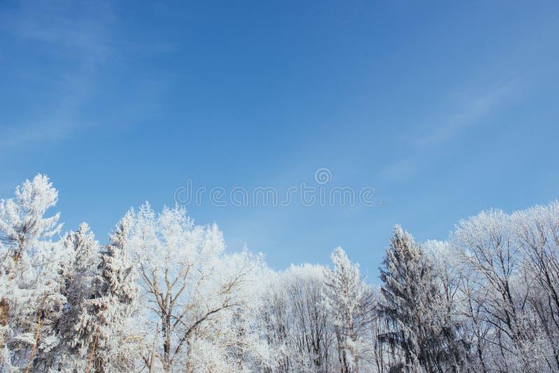 As partes superiores das árvores na neve Neve congelada em árvores Árvores congeladas em um fundo do céu nebuloso azul fotografia de stock royalty free