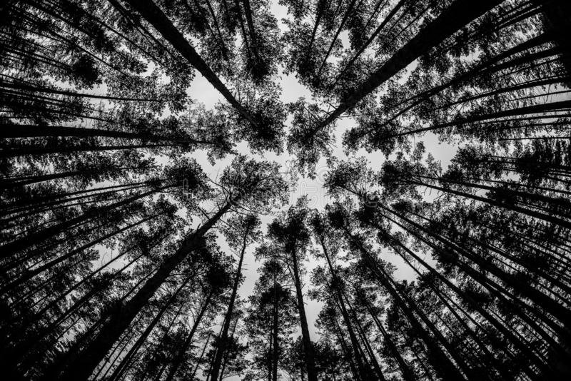 As partes superiores de árvores altas contra o céu, floresta, natureza fotos de stock royalty free