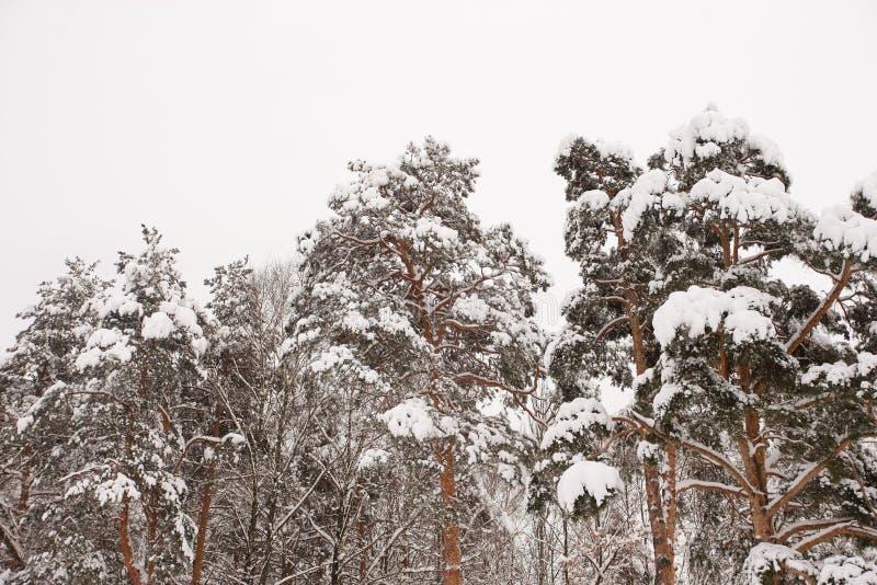 As partes superiores de árvores coníferas são cobertas com a neve imagens de stock