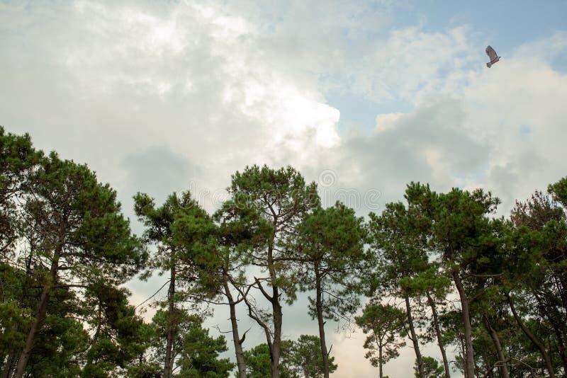 As partes superiores de pinheiros verdes contra o céu e as nuvens fotografia de stock