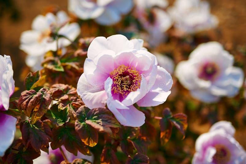 As peônias de florescência imagens de stock royalty free