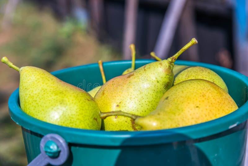 As peras saudáveis fecham-se acima do tiro na cubeta plástica verde fotos de stock
