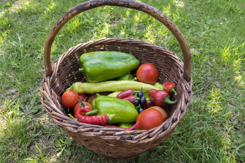 As pimentas e os tomates colhem na cesta de vime, legumes frescos, ingredientes fotos de stock royalty free