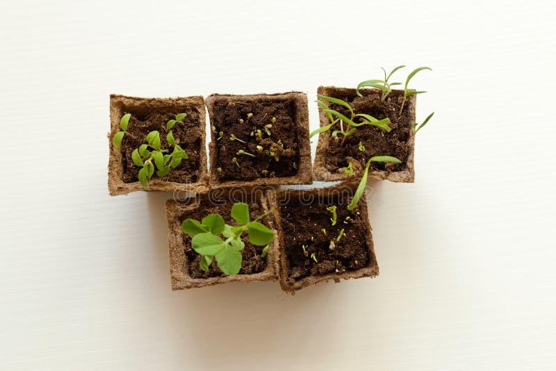 As plântulas das colheitas vegetais, planta nova brotam fotos de stock