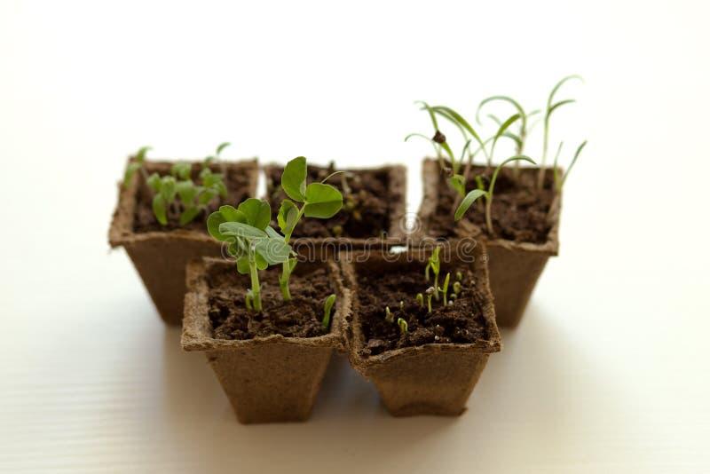 As plântulas das colheitas vegetais, planta nova brotam imagem de stock royalty free