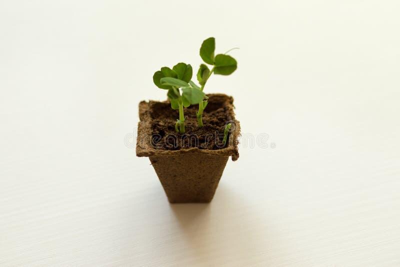 As plântulas das colheitas vegetais, planta nova brotam imagem de stock