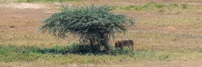 As planícies de Serengeti, panorama do savana imagem de stock