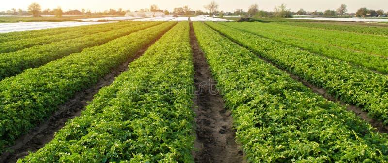 As planta??es da batata s?o crescem no campo em um dia ensolarado Vegetais org?nicos crescentes no campo fileiras vegetais agricu fotografia de stock
