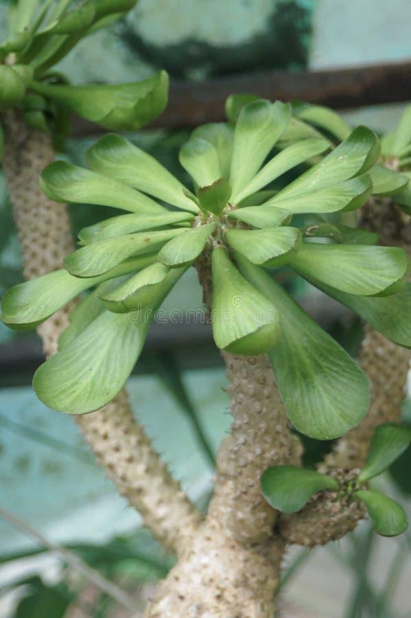 As plantas carnudas grossas da folha mostram um tipo diferente da beleza foto de stock