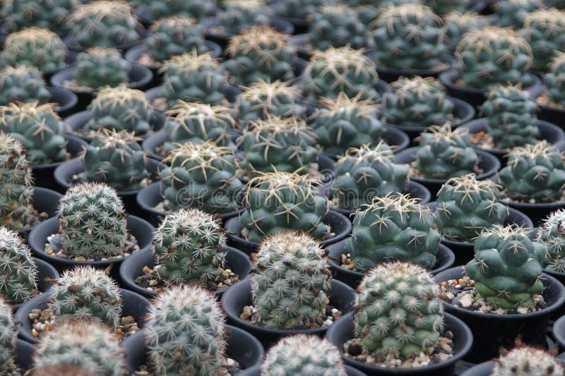 As plantas carnudas que podem servir como fundos são disparadas na estufa fotografia de stock royalty free