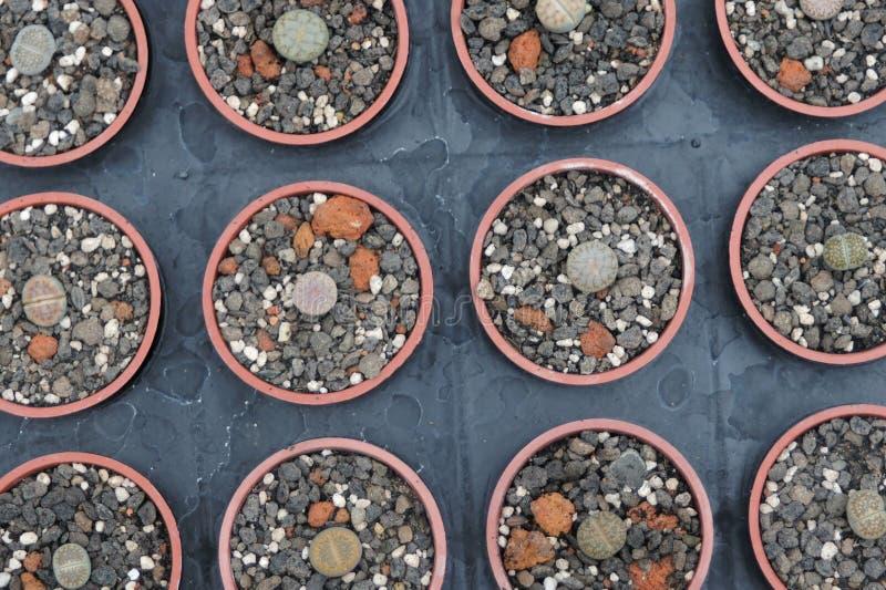 As plantas carnudas que podem servir como fundos são disparadas na estufa fotos de stock