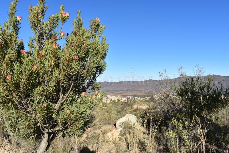 """As plantas coloridas do rei Protea na maneira ao Swartberg passam em Oudtshoorn em Africa†sul """"a flor nacional de África do Sul fotos de stock"""