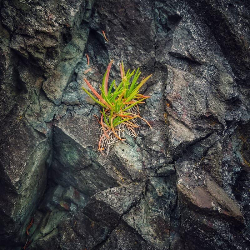 As plantas crescem atrav?s das rochas fotos de stock royalty free